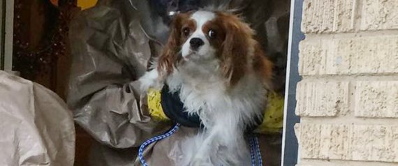 Dallas Animal Services and Adoption Center photo of Bentley the dog belonging to Nina Pham in Dallas
